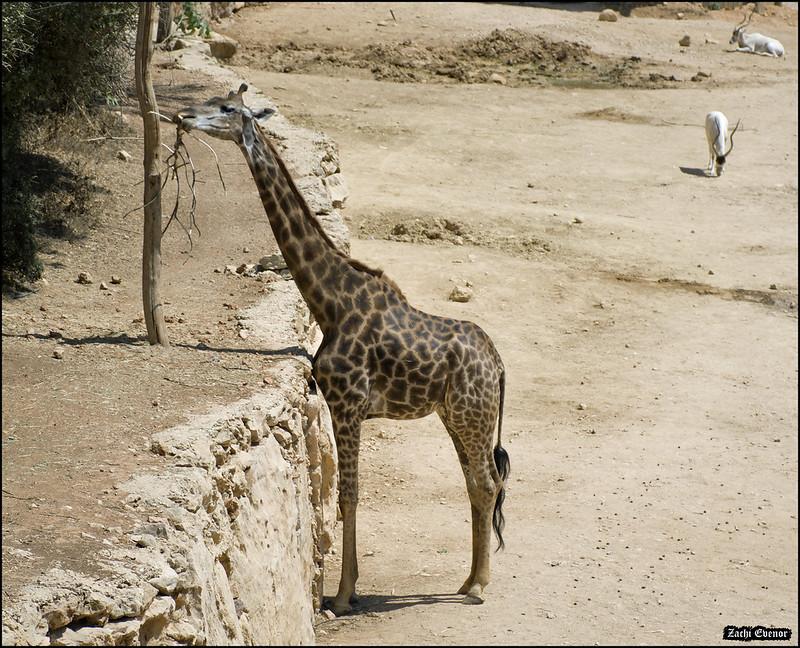 Giraffe in Jerusalem-Biblical-Zoo-IZE-636b