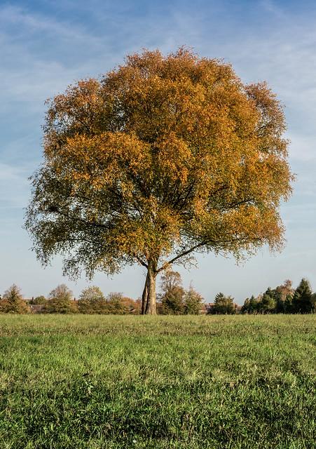 Barton-le-Clay Tree