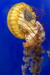 Beautiful Sea Nettle #1