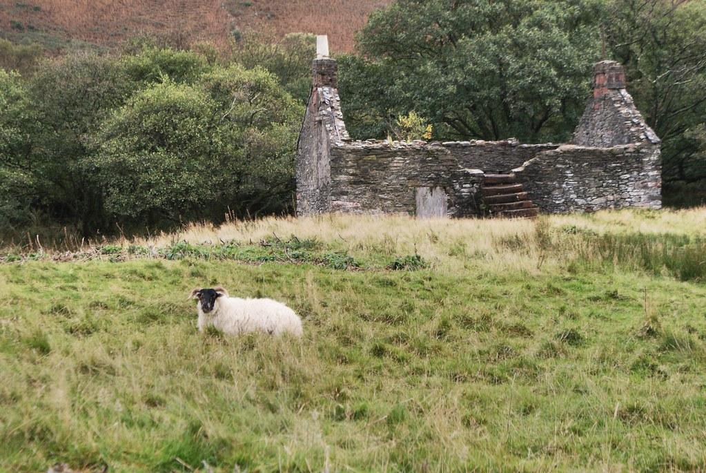 Un mouton, une herbe épaisse et une maison en ruine à Arran.