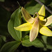The Trout Lily