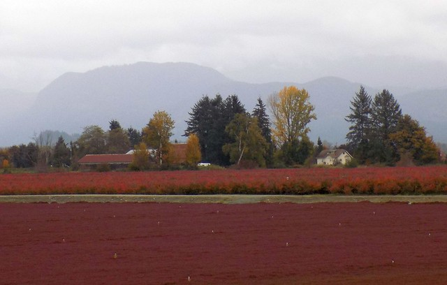 BC Cranberry Harvest Pitt17j06