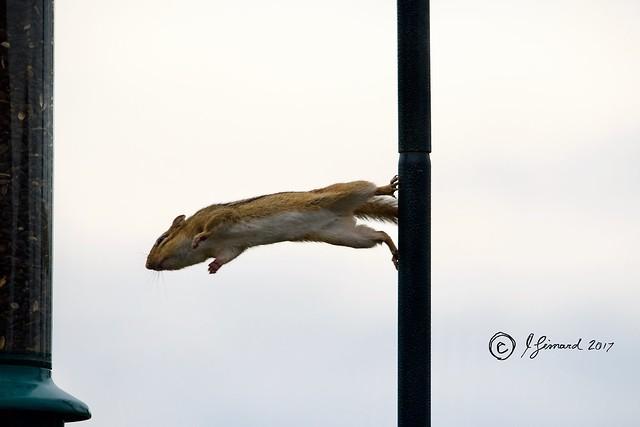 Flying Chipmunk