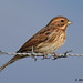 reed bunting 41 2017 female