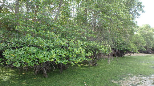 Mangroves at Chek Jawa