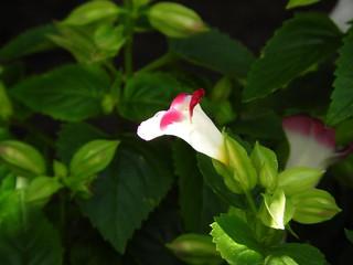 トレニア ピンク08