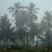 Coconuts Tress