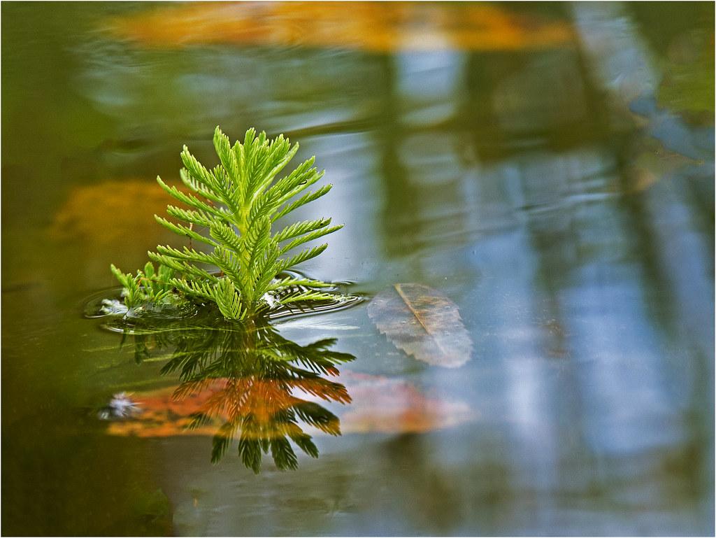 Plante aquatique  24035351528_89563dbf16_b