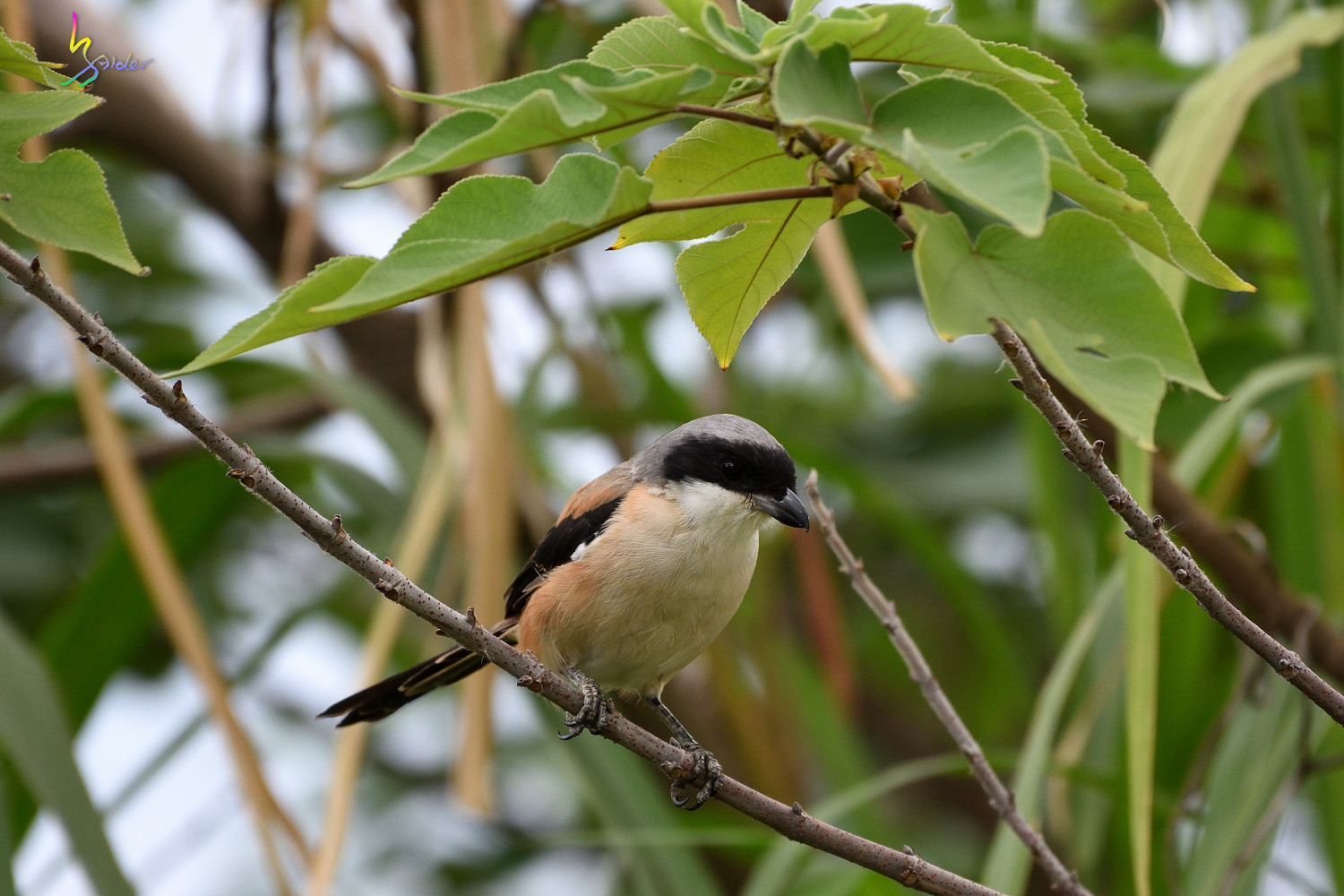Long-tailed_Shrike_0713