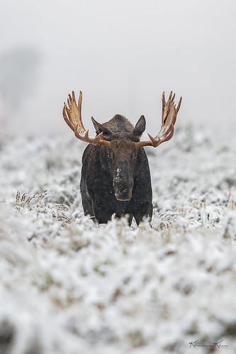 Moose Face Off