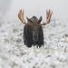 Moose Face Off by Khurram Khan...