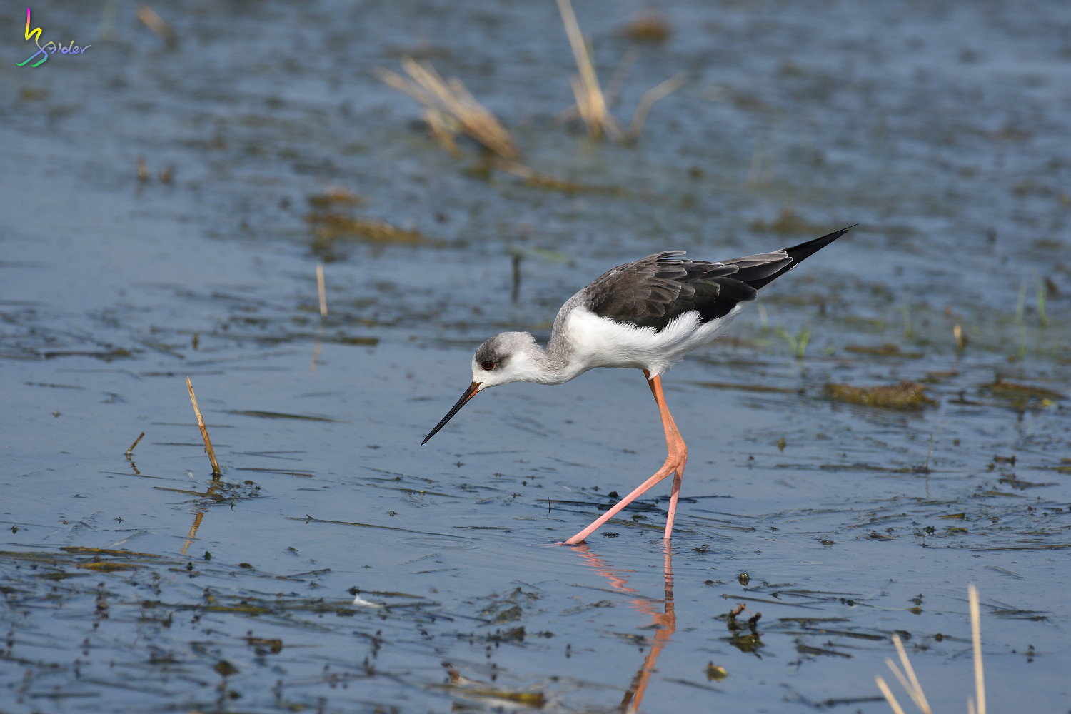 Black-winged_Stilt_9136
