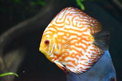Discus freshwater fish
