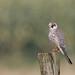 Rotfußfalke (Falco vespertinus) by Matthias.Kahrs