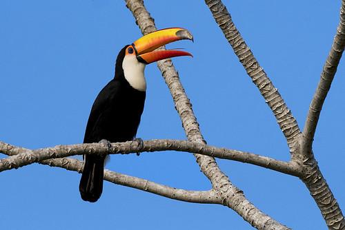 Pantanal: Toco Toucan