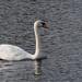 Swan on Thames-EA120234