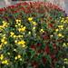 Deux chrysanthèmes sur le point de fleurir... by Hélène_D