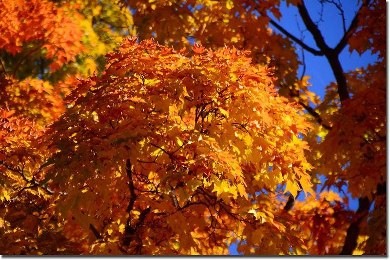 2017 Maple in Fall, Boulder, Colorado  (15)
