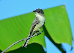 Eastern Phoebe by Jackie B. Elmore 9-22-2017 Lincoln Co. KY
