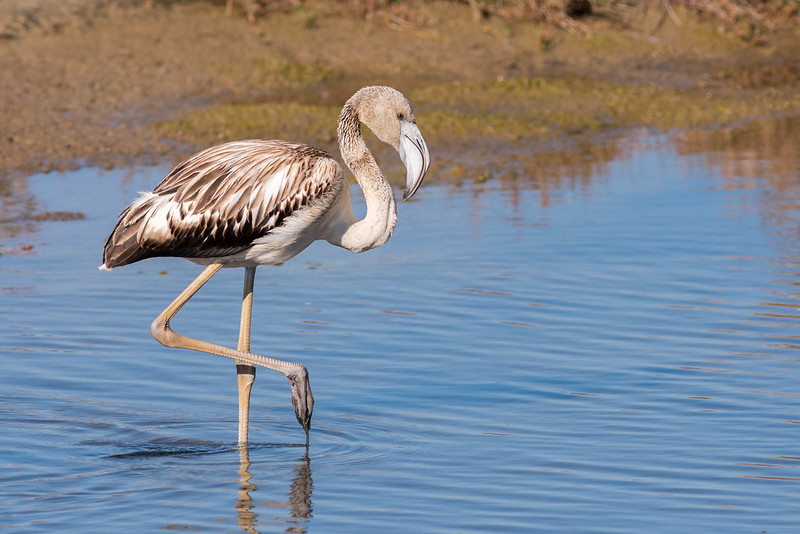 (Young) Greater Flamingo - Phoenicopterus roseus