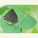 Panthiades bitias - Eclipsed Cross-atreak por J. Amorin