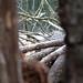 Pine surveillance