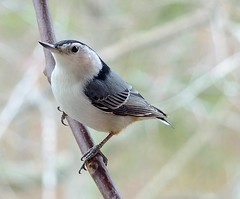 WHITE-BREASTED NUTHATCH..male.