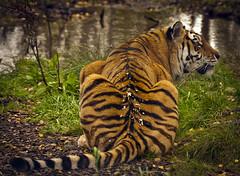 Tiger Tiger So Alert