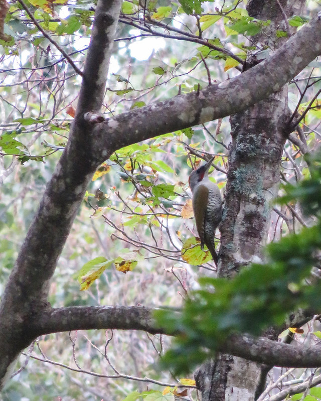 Japanese green woodpecker