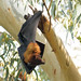 Flying fox/bat in Pakistan .02 by Pervez 183A OFF due to recovery from surgery
