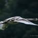 Young Swan - Bushy Park (358)