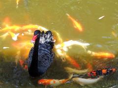 Swana and fish