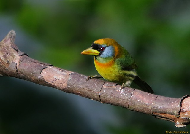 Barbudo Cabecirrojo | Red-headed Barbet (Eubucco bourcierii)