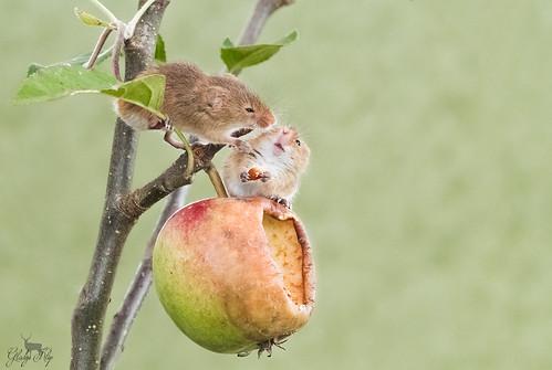 Dwergmuis / Harvest mouse / Rat des moissons