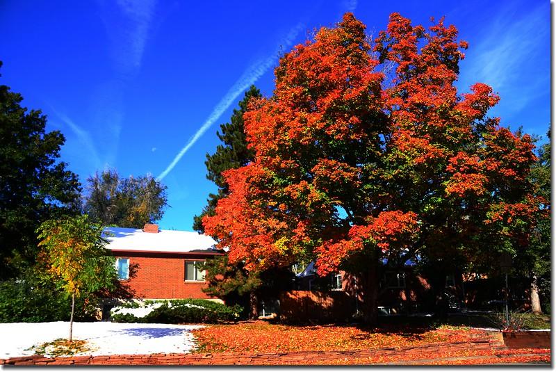2017 Maple in Fall, Boulder, Colorado  (3)