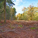 Autumn New Forest 2017