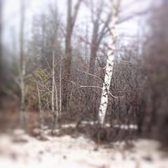 Purgatory Road 43 - The White Birch