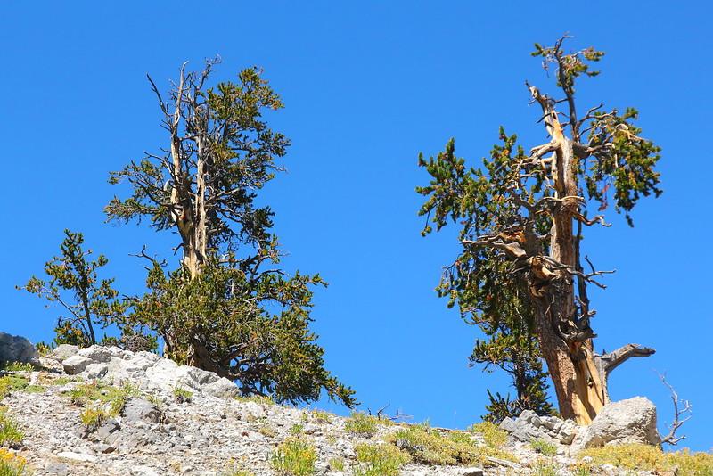 IMG_9785 Great Basin Bristlecone Pine