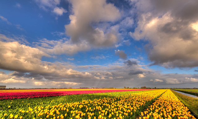Tulips as far as the eye can see.