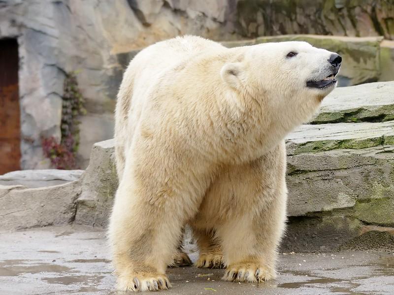 Erlebnis Zoo Hannover Polar Bear Milana ❤