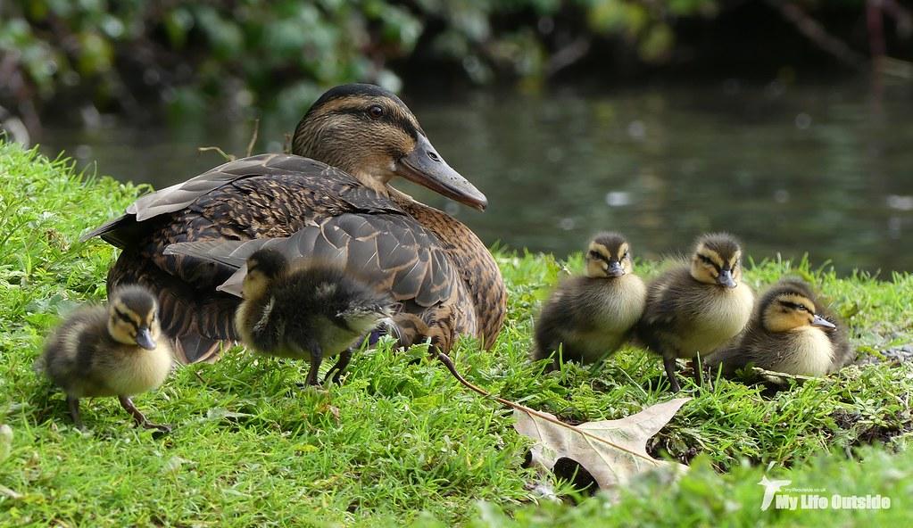 P1120369 - Late Ducklings, WWT Llanelli