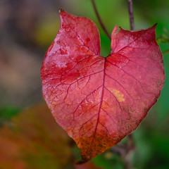 Fall Red, Chester Creek, Duluth 9/23/17 #leaf