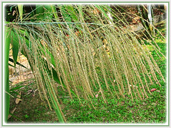 Thysanolaena latifolia (Bamboo Grass, Tiger Grass, Asian Broom Grass, Rumput Buloh/ Teberau in Malay) with dense panicle of numerous spikelets, 1 Aug 2009