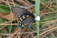 Spider attacking a Pipevine Swallowtail butterfly