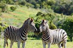 Zebras standing and sniffing each other