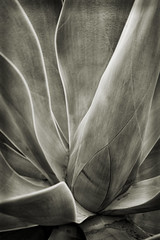 Agave Plant, version 2