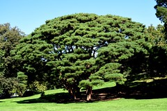 Umbrella Pine Tree at New York Botanical Garden