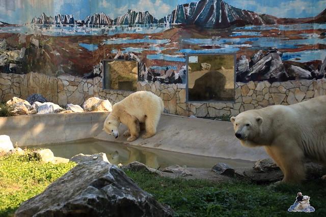 Eisbär Fiete im Sosto Zoo 01.10.2017 017