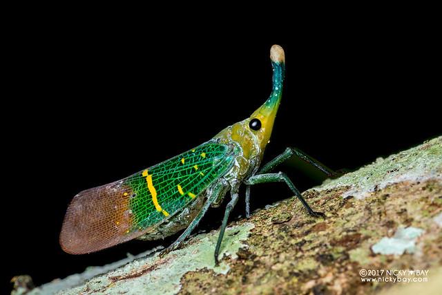 Lantern bug (Saiva transversolineata) - DSC_9429
