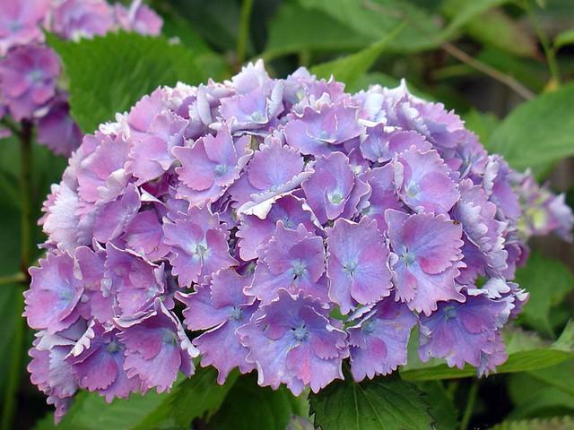 Hydrangea Flowers, Sony DSC-V1